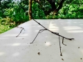 big stick insects